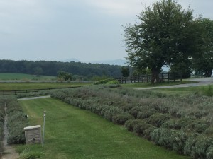 White Oaks Lavender Farm